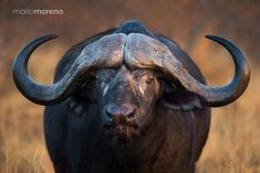 "A portrait of a male Cape Buffalo captured in great evening light during last year's August Big Cat photographic safari in Motswari Private Game Reserve in Greater Kruger in South Africa. Go to <a href=""http://www.southcapeimages.com/The_Big_Cats.html"">The Big Cats 6 Day Safari</a> to join me on an upcoming photo tour to Kruger : <a href=""www.southcapeimages.com"">PHOTO SAFARIS</a> 