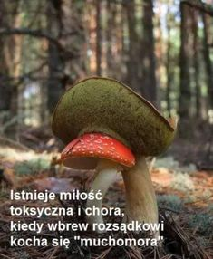 An edible Boletus sp. mushroom appears to be eating a poisonous Amanita muscaria. Mushroom Art, Mushroom Fungi, All Nature, Amazing Nature, Wild Mushrooms, Stuffed Mushrooms, Mushroom Pictures, Slime Mould, Plant Fungus