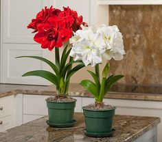 Amaryllis Nymph Duo, two bulbs in green eco pots