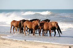 Banker horses, Outer Banks