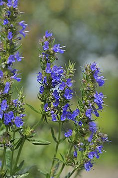 Hyssop (Hyssopus Officinalis) - a good companion to grape vines