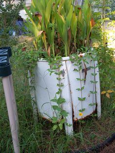 This is a yellow flowering vine that I grew in my curbside find vintage washing machine.