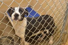 "TO BE DESTROYED 1/10/14 135967 SOPHIE Female Pit Pup around 6 mos old  fundrazr.com/...?  These animals are at Clayton County Animal Control at 1396 Government Circle Jonesboro, GA 30236. For help with rescue coordination, please email jmpartnersccac@gm..., ccacpartners@gmai..., ansearcher@gmail.comrel=""nofo...> www.facebook.com/..."