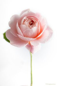 Simply beautiful | Pastel pink rose.