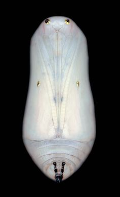 Adam Fuss, Untitled, 2003    (butterfly chrysalis, photographed and printed 6 foot high)