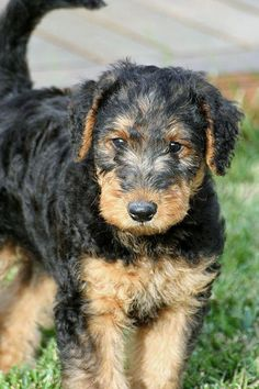 """Higgins the Airedale Terrier 