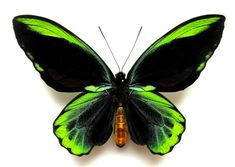NATURAL HYBRID Ornithoptera Allotei Male