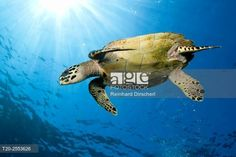 Hawksbill Sea Turtle, Eretmochelys imbricata, Komodo National Park, Indonesia. © Reinhard Dirscherl / age fotostock - Stock Photos, Videos and Vectors