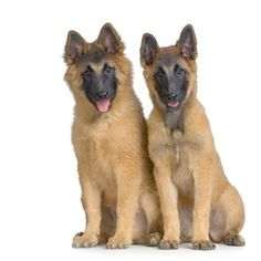 Two #GermanShepherd puppies that have a different slant on life...found on fundogpics.com
