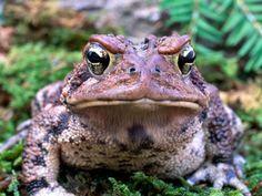 Grenouilles - Photos et fonds d'écran: http://wallpapic.fr/animaux/grenouilles/wallpaper-32974