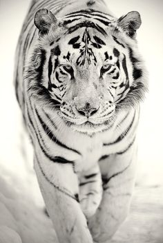 This picture represents how Eragon thinks out of the box, or different, like this white tiger who is different.