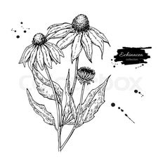 Isolated purpurea flower and leaves. Herbal engraved s Flower Line Drawings, Art Drawings, Drawing Flowers, Aster Flower Tattoos, Wildflower Drawing, Floral Drawing, Botanical Drawings, Relief, Floral Illustrations