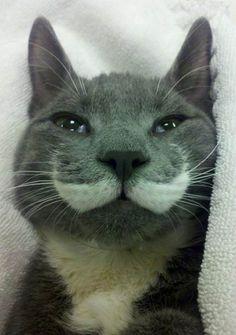 【紳士な猫】口ヒゲを生やした猫達がどう見てもジェントルマン18選 | CuRAZY