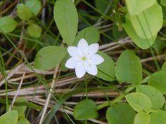 Skogsstjärna. Lepplax 2015 Plants, Planters, Plant, Planting