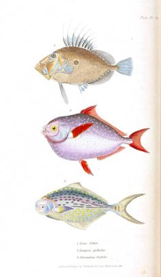 Animal - Fish - Couvier 1834 -  (33)