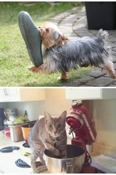 Dogs and cats are the champions of stupid things. These photos of them getting caught in action are worth gold. check it #cats#dogs#pets#funnycats#funnydogs#funnypets#hilariousmoments#hilarious#catowners#dogowners#catlovers#doglovers