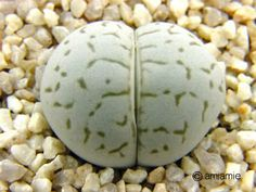 Dintheranthus vanzylii 稜耀玉