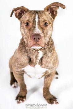 Meet Dew (Roxy)! St Paul, MN - Labrador Retriever/Pit Bull Terrier