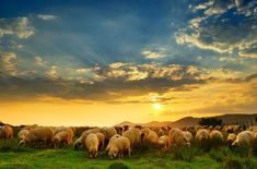 Animal Meanings, Scotland Tours, Your Spirit Animal, Small Group Tours, Flocking, Wonderful Images, How To Fall Asleep, Sheep, Around The Worlds