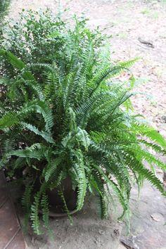 Lovely Ferns