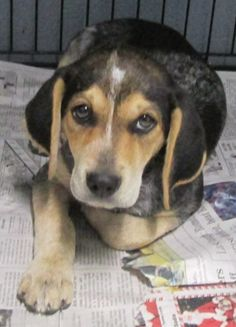 Bluetick Coonhound M 3 months 10 lbs. named Bubba in North Tazewell, VA @ Tazewell County Animal Shelter