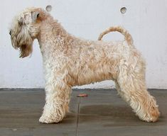 Irish Soft Coated Wheaten Terrier- show cut Wheaten Terrier, Pitbull Terrier, Hog Dog, Dog Cat, Irish Dog Breeds, Terrier Breeds, Terriers, Dog Grooming Styles, Irish Terrier