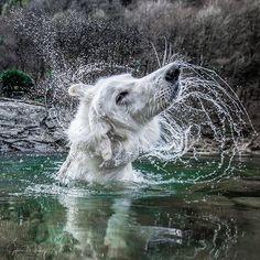 Tomorrow is monday - shake it off!!! #excellent_dogs #all_animals_addiction #michelphotography #bergerblancsuisse #bergerblanc #bergerblancswiss #bergerblancsuisselovers #swisswhitesheperd #swisswhiteshepherd #swisswhiteshepard #ticino #whiteswissshepherd #whitedog #maggiatal #bestdogs #maggia #animallover #ascona_locarno #michelphotography #inlovewithswitzerland #myswitzerland #iloveswitzerland #schweiz #svizzera #switzerland_bestpix #switzerland_vacations #visualart #artofvisuals #animalplanet #actionshot via@dogsbible