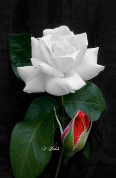 Beautiful Rose Flowers, Love Rose, Exotic Flowers, Anemone Flower, My Flower, Flower Art, Blue Roses, White Roses, Rose Of Sharon