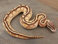 Arroyo Lesser Pastel - Morph List - World of Ball Pythons