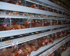 How to start a profitable poultry egg farming business and the poultry egg production business plan (PDF, Word and Excel). Used Farm Equipment, Poultry Equipment, Chicken Cages, Chicken Feeders, Farm Chicken, Business Plan Pdf, Business Planning, Types Of Poultry, Poultry Business