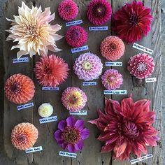 Pink Dahlien derzeit in voller Blüte im Garten Pink dahlia currently in bloom in the garden Cut Flower Garden, Pink Garden, Beautiful Flowers Garden, Flower Farm, Pretty Flowers, Cut Garden, Zinnia Garden, Small Flower Gardens, Peonies Garden