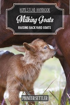 How To Milk The Goat The Right Way | Homesteading Ideas by Pioneer Settler at http://pioneersettler.com/how-to-milk-a-goat-raising-goats/