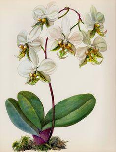 Schöne Antiquität Orchid Print Vintage botanischen von plaindealing