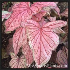 Caladium 'Desert Sunset'