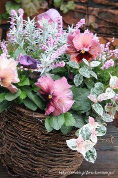 パンジーとカルーナのピンクバスケット の画像|フローラのガーデニング・園芸作業日記