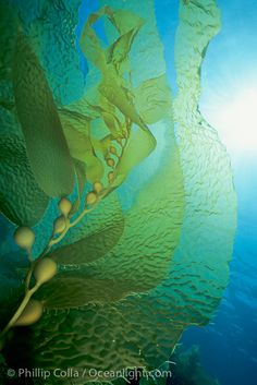 Giant kelp, underwater kelp forest - San Clemente Island, California by Phillip Colla.