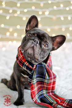 #bouledogue I think I need a smaller Christmas scarf!