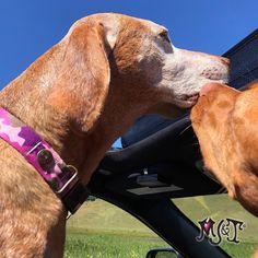 💕 Lola let Capri give her a 💋 So cute 👅 #dogkisses #vizslasisters #vizslasofinstagram #dogsincars #pinkcamo Unique Dog Collars, Vizsla, Pink Camo, Capri, Dogs, Cute, Animals, Animales, Animaux