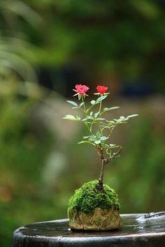 hồng bonsai Xúc Cảm Garden – Terrarium - All For Garden Beautiful Flowers Wallpapers, Beautiful Roses, Pretty Flowers, Garden Terrarium, Bonsai Garden, Arrangements Ikebana, Mame Bonsai, Diy Vintage, Japanese Garden Design