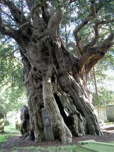 Crowhurst Yew: This tree is thought to be as old as years! It also has a door in its trunk; villagers once hollowed out the tree and found a wayward cannonball lodged in there, perhaps from the English Civil War.