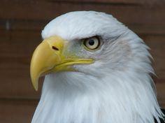 Bald Eagle by Nicole B.