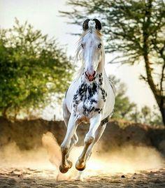 Marwari horse running kicking up the dust.