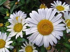 Chrysanthemum cinerariaefolium