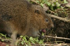 Water vole eats a stinging nettle at our Nind nature reserve, looks a little shocked! Water vole version of a strong curry perhaps? Courtesy of @naturebygreen on Twitter  #wildlife #gloucestershire #nature #nind