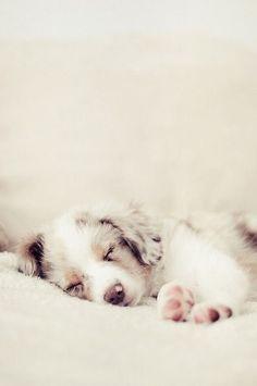 Australian Shepherd Puppy So Sweet!