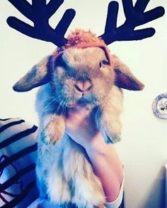 Make it stop. #reindeer #rabbitshaming #petshaming #rabbit #bunny #bunnies #cuteanimals #pets