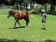 Ground training for a future driving horse.