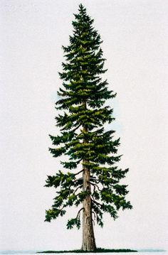 Douglas Fir Tree - Tattoo idea?  Northwestern at heart!