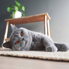Kittens Cutest, Cats And Kittens, Cute Cats, Pretty Cats, Beautiful Cats, British Blue Cat, Purebred Cats, Cute Animals Images, British Short Hair