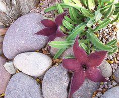 Stapelia Gigantea Succulent Large Flower